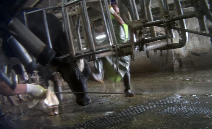 Hombres investigados por maltrato a vacas