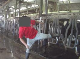 Hombres maltratan a las vacas en una granja lechera