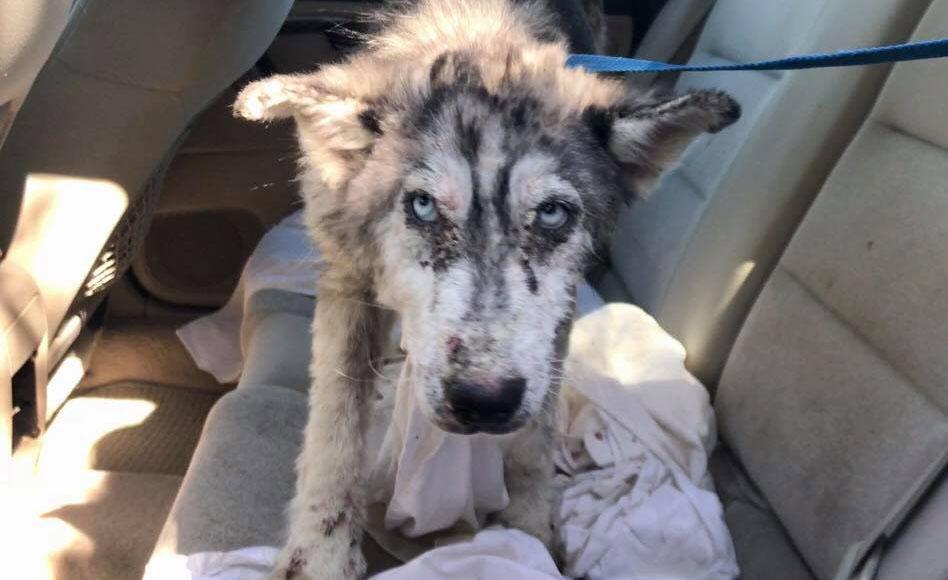 Husky enfermo esperaba que lo ayudaran