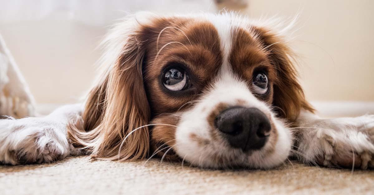 La enfermedad de megaesófago en perros