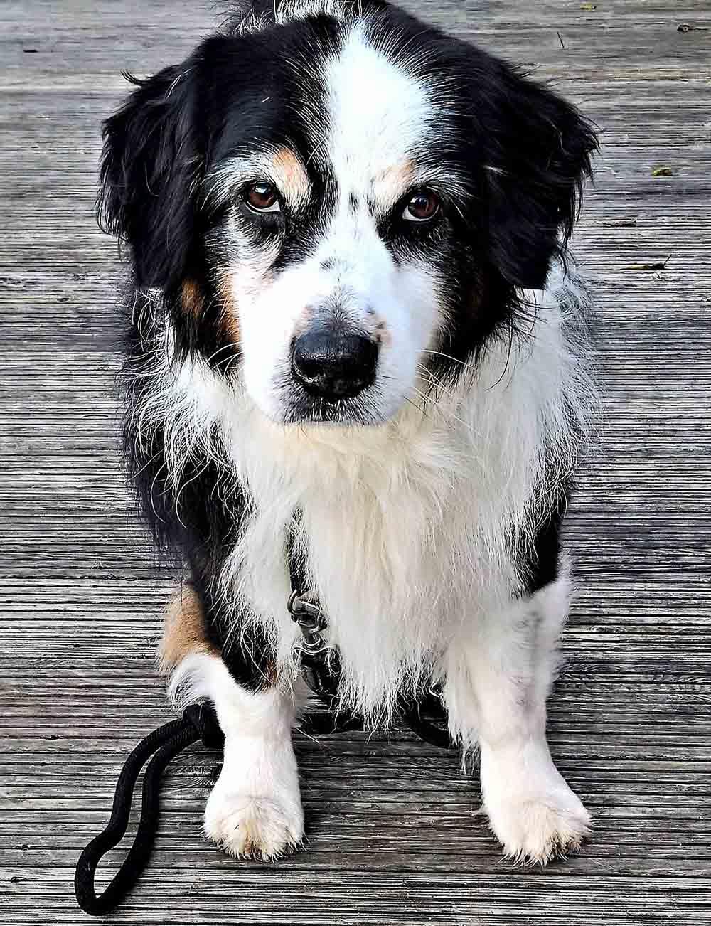 Megaesófago canino