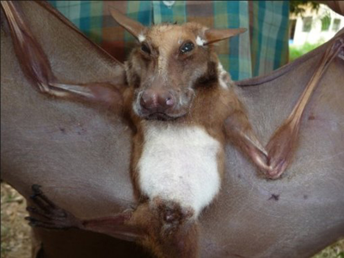 Murciélago parece perro