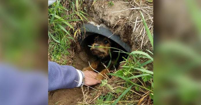 Perrita con las patas rotas vivía en una zanja y fue rescatada