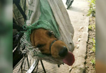 Perros cargados en bolsas rescatados del comercio de carne de perro