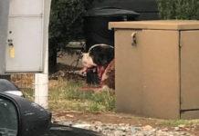 Policía mata a perros san bernardo sueltos en el vecindario