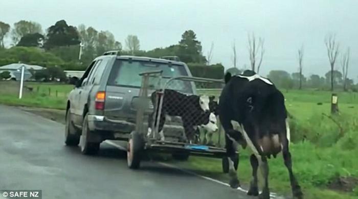 Vaca angustiada persigue bebés