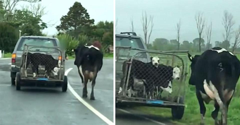 Vaca persigue a sus bebés transportados al matadero