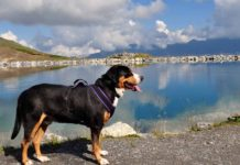 Perro gran boyero suizo