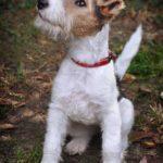 perro de raza fox terrier