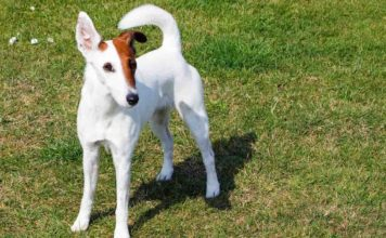 raza Fox terrier