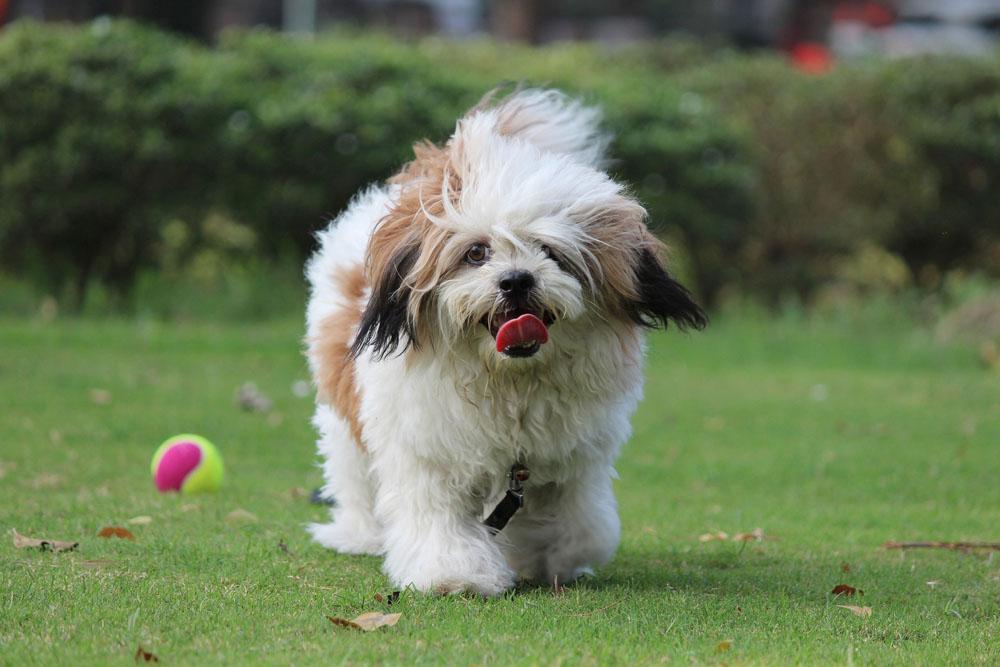 Raza canina Lhasa Apso