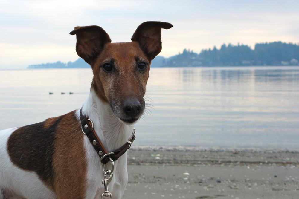 Raza canina fox terrier