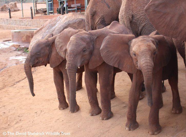Bebés elefante