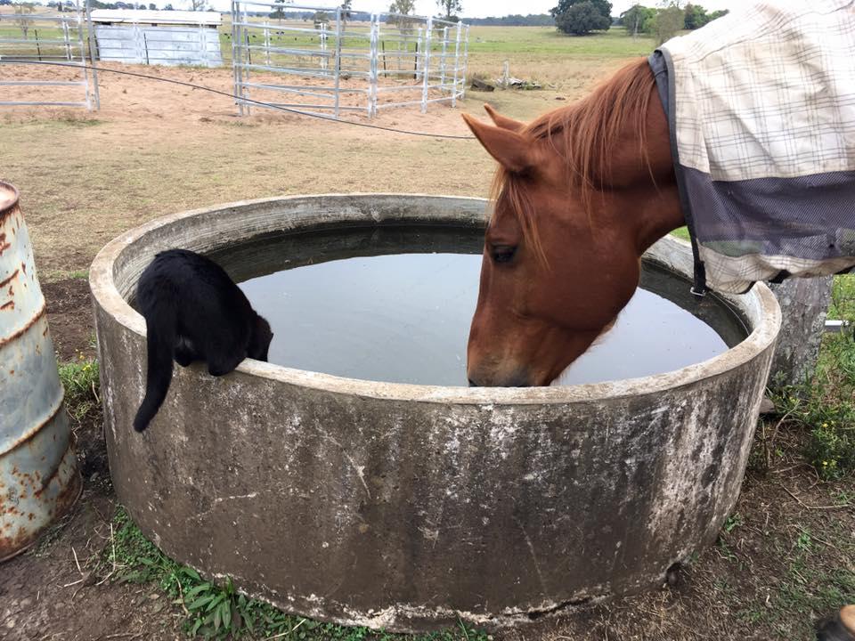 Caballo toma agua con un gato
