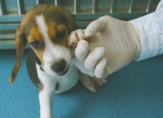 China cría perros enfermos para experimentos