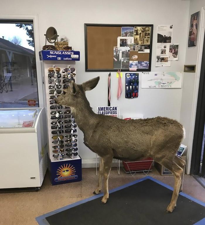 Ciervo observa productos en la tienda