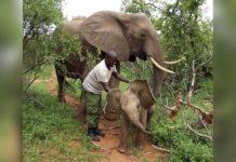 Elefante lleva a su bebe a conocer a las personas que salvaron su vida