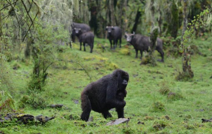 Mamá gorila abandona a su familia para salvar a su bebé