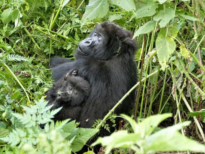 Mamá gorila y su bebé