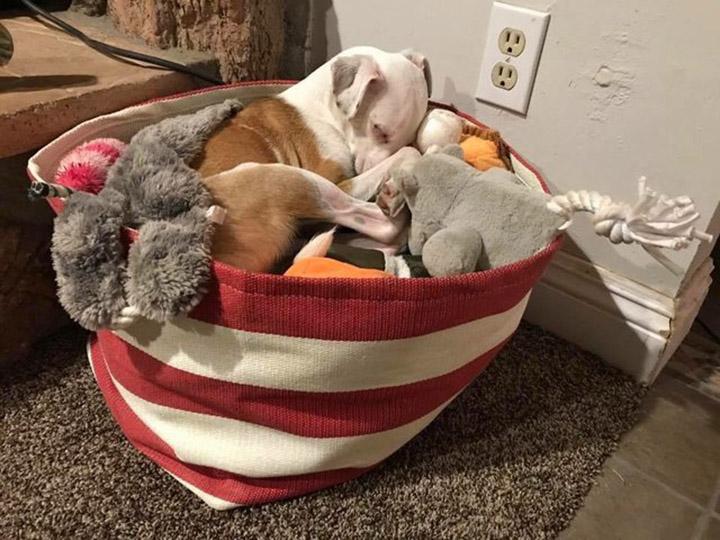 Nugget duerme en sus juguetes