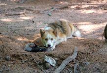 Perrita encadenada cava un agujero para salvar a sus cachorros