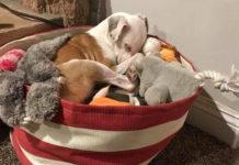 Perro ama juguetes duerme en ellos