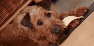 Perro de raza Terrier Irlandés