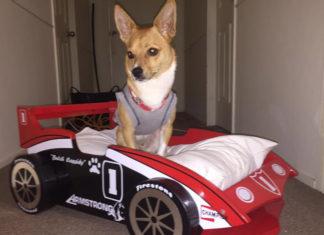 Perro obtiene cama de auto de carreras en Navidad