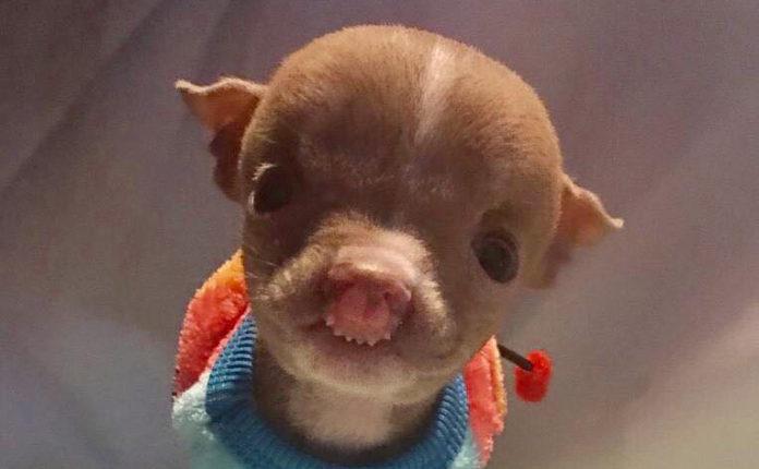 Pitbull muy pequeño nace diferente y desafía todas las probabilidades