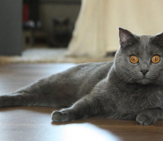 Raza felina Chartreux o Gato Cartujo