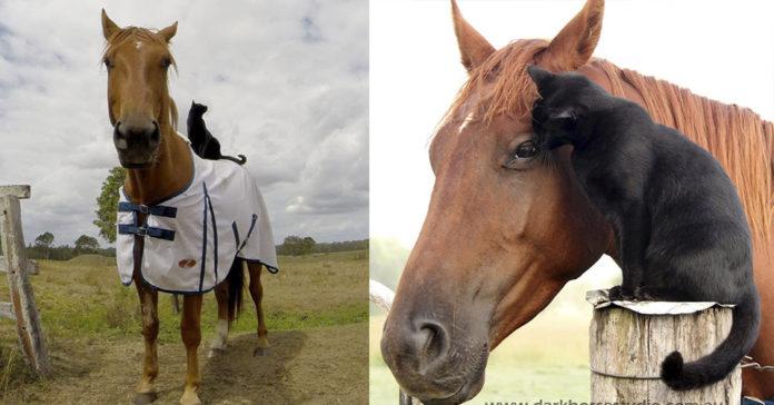 Tímido gato y un caballo son mejores amigos