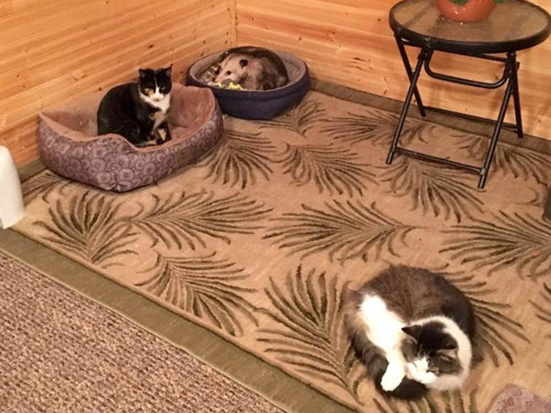 Zarigüeya y gatos