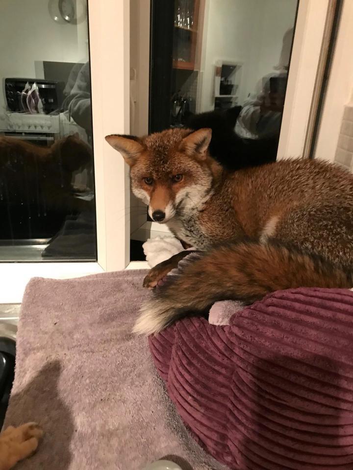 Zorro en la cama del gato
