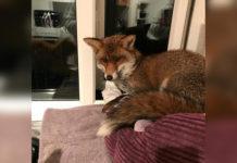 Zorro ocupa la cama del gato