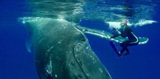 Ballena jorobada salva a buceadora de un ataque de tiburón