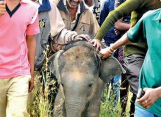 Bebé elefante acorralado para selfies