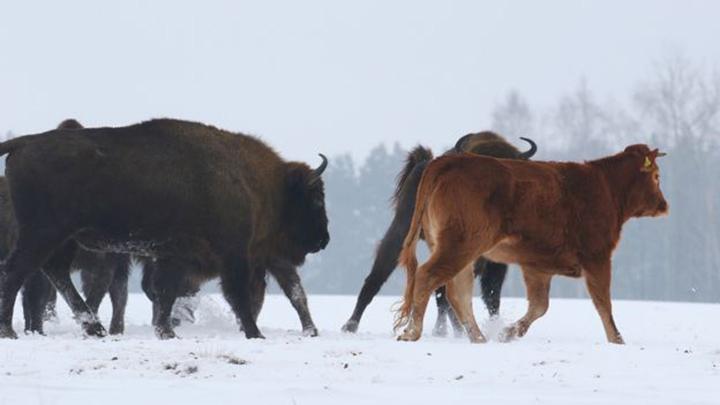 Bisontes y vaca