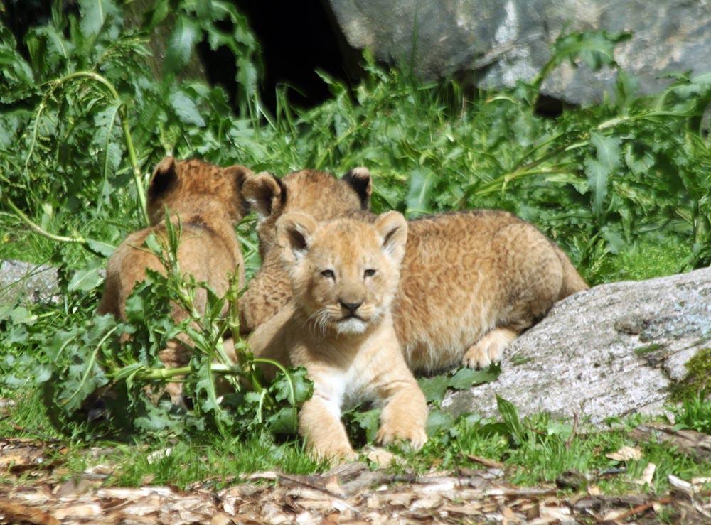 Cachorros de león asesinados