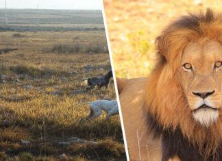 Cazador intentaba cazar a un león y fue asesinado