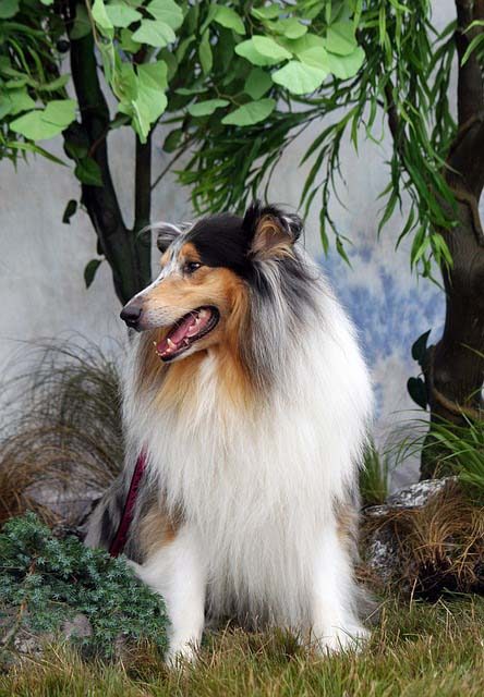 Collie de pelo largo