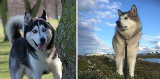 Diferencias entre Husky Siberiano y Alaskan Malamute