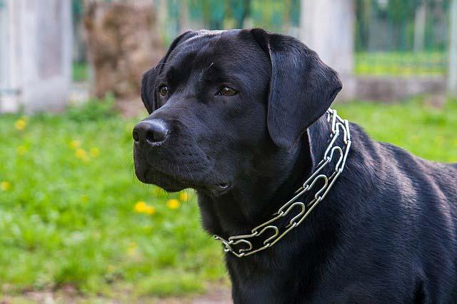 El collar de púas para perros NO ES RECOMENDABLE
