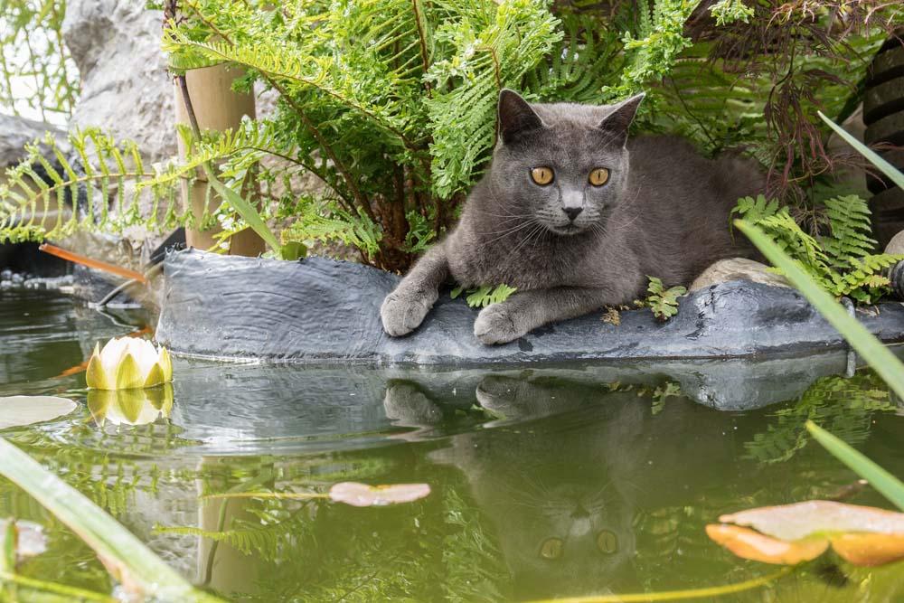 El gato chartreux