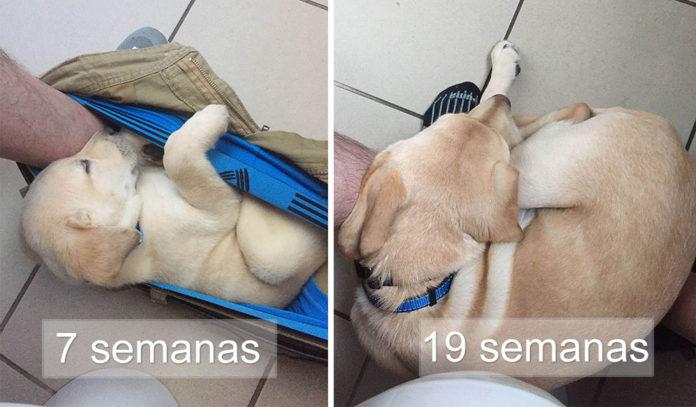 Graciosa tabla de crecimiento de un perrito