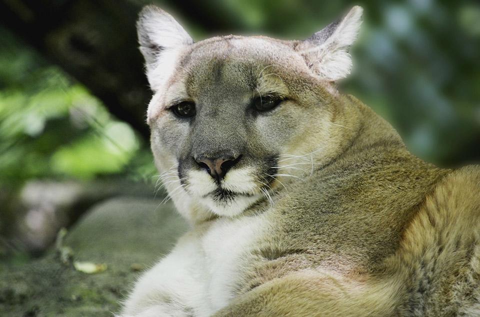 León de montaña o puma