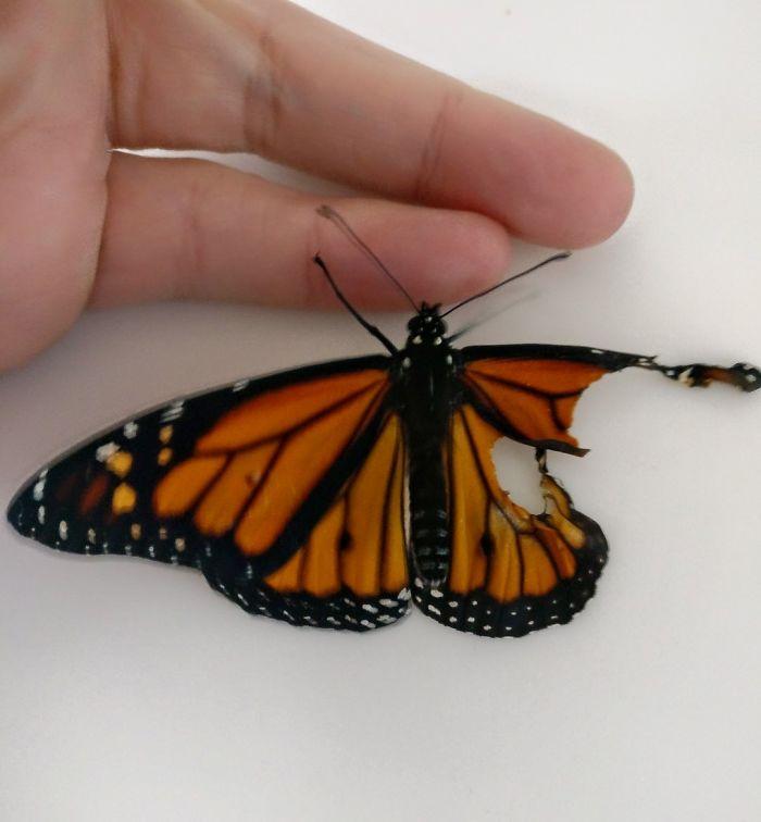 Mariposa con el ala rota