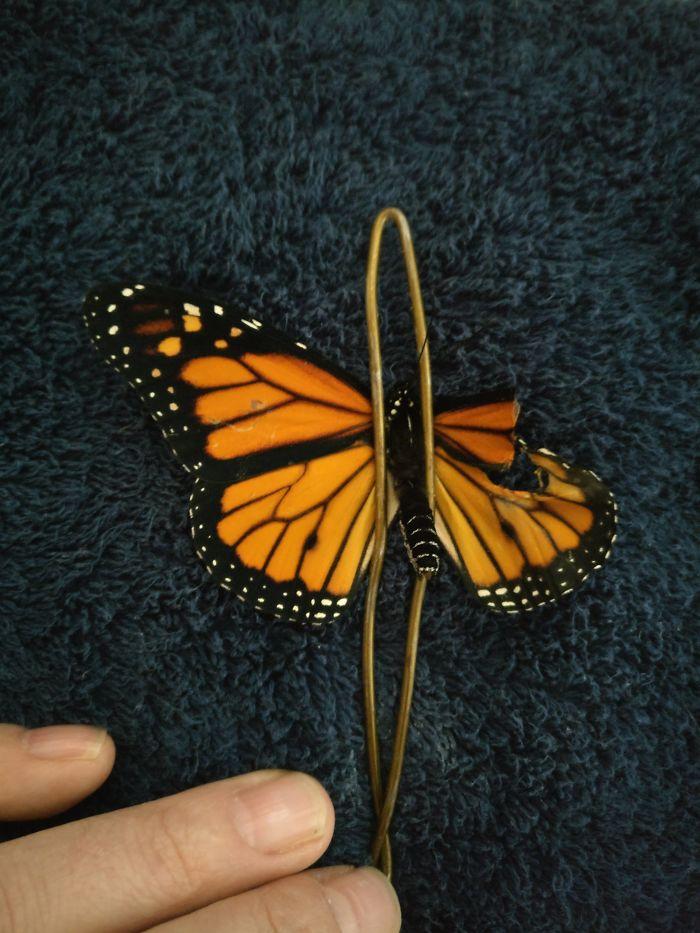 Operación de ala rota de mariposa