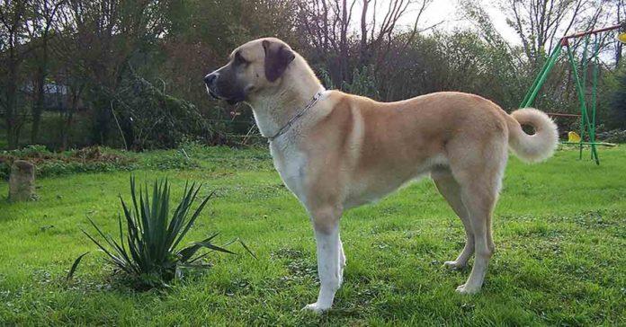 Perro pastor de anatolia