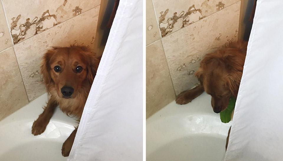Perro que odia el baño le lleva a sus padres el juguete favorito