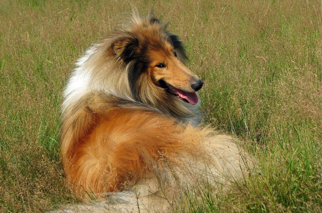 Perros de raza Rough Collie o Collie de pelo largo